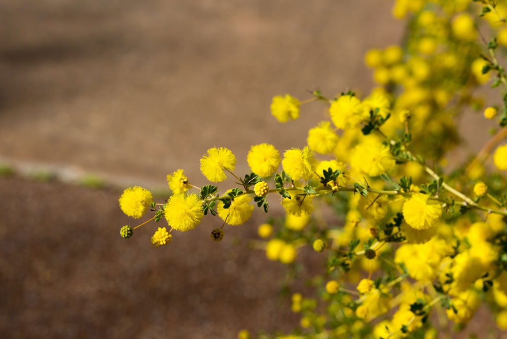 Wild Tansy flower